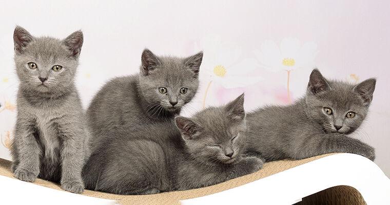 Kitten auf Katzenkratzbaum Singha L aus Wellpappe