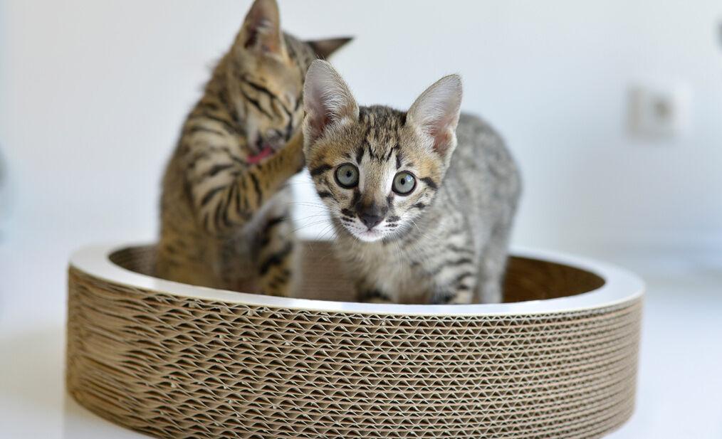 Katzenschale, Kratzschale, Kratzpappe